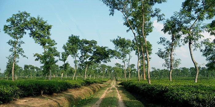 Tea-Garden1